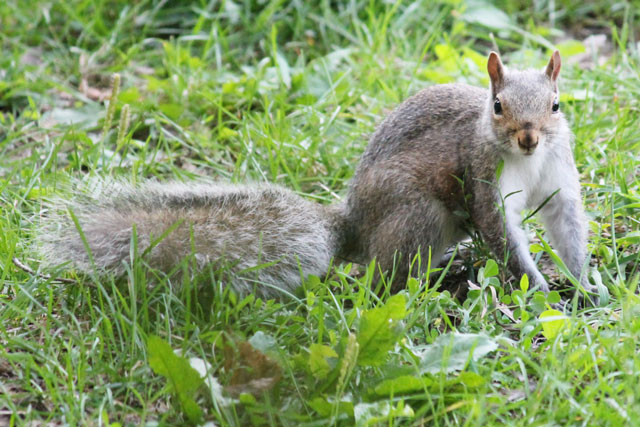 young-female-squirrel