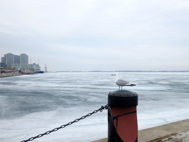 gull-in-the-winter-toronto-waterfront
