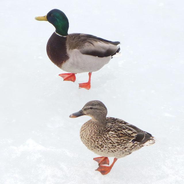 mallard-ducks-walking-on-frozen-lake-toronto-waterfront-male-and-female