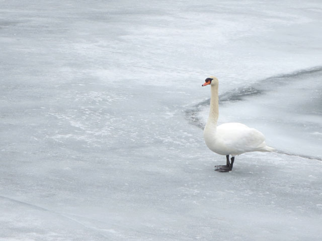swan-on-ice-toronto-waterfront