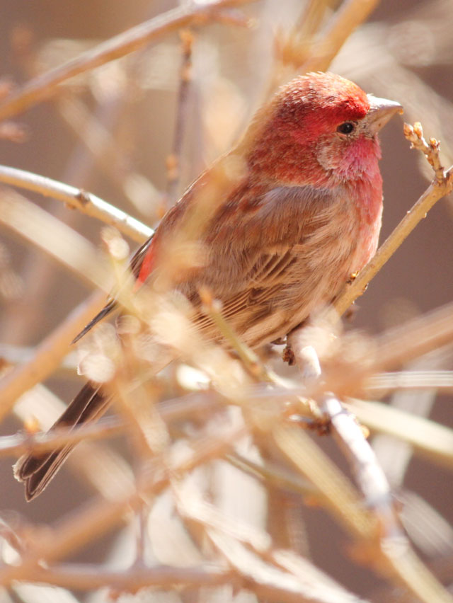 male-house-finch-in-toronto-eating-forsythia-bud-red-bird