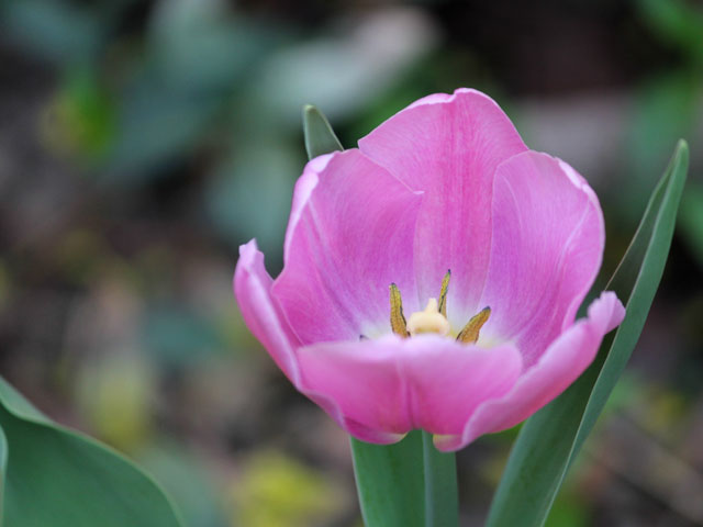 pink-tulip-2