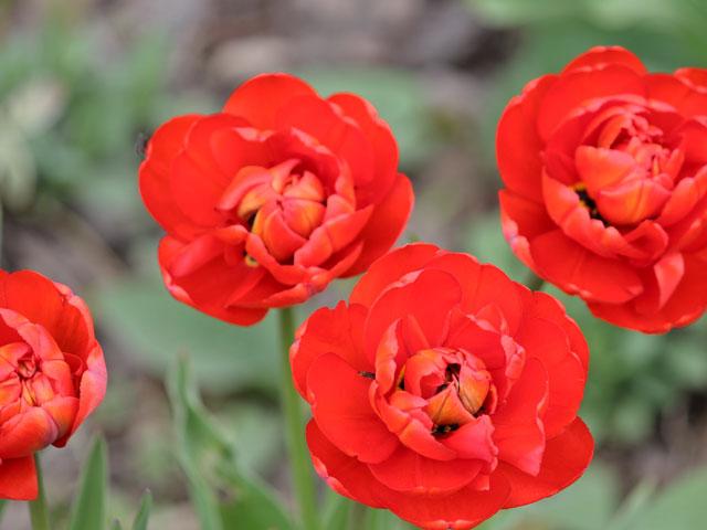 red-peony-tulips