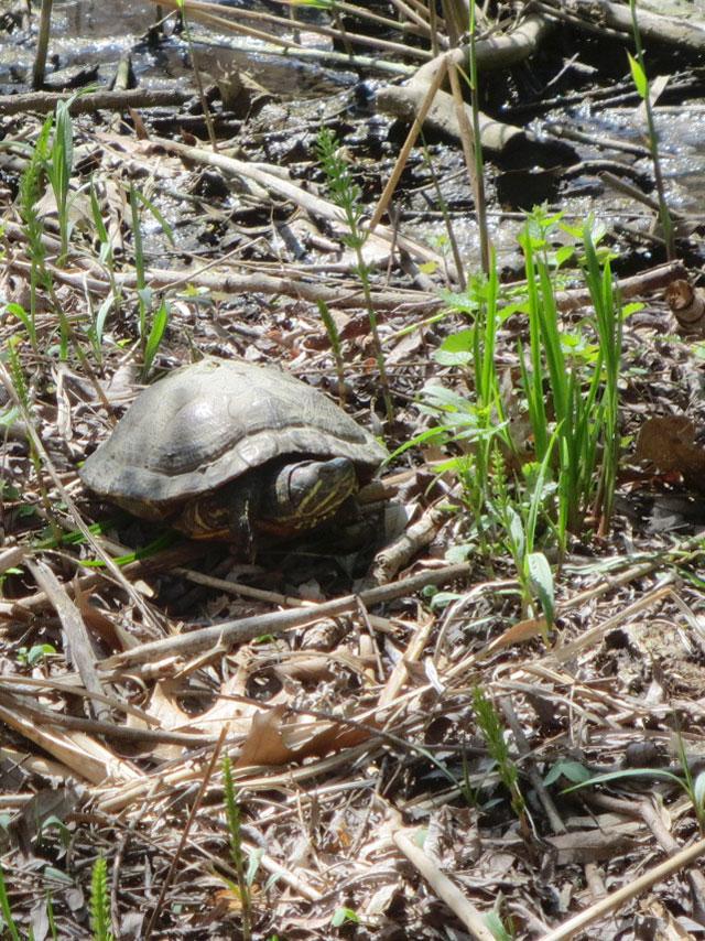 turtle-in-grenadier-pond-high-park-toronto