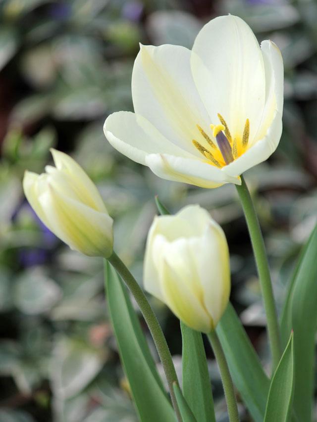white-tulips-2