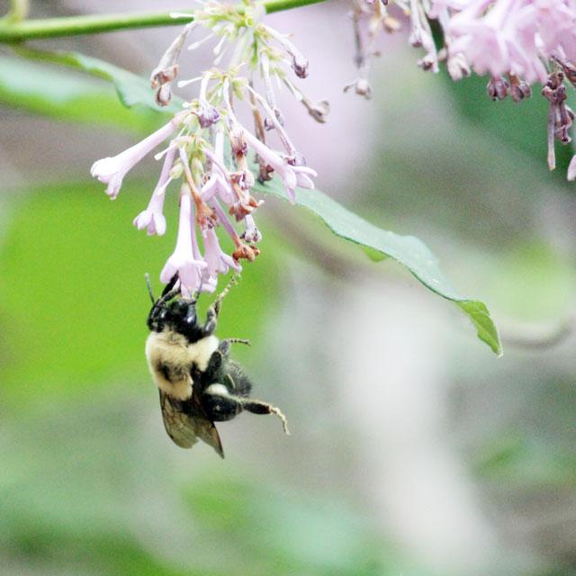 honey-bee-in-toronto