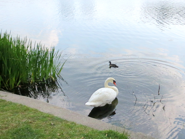 swan-and-duck-in-high-park