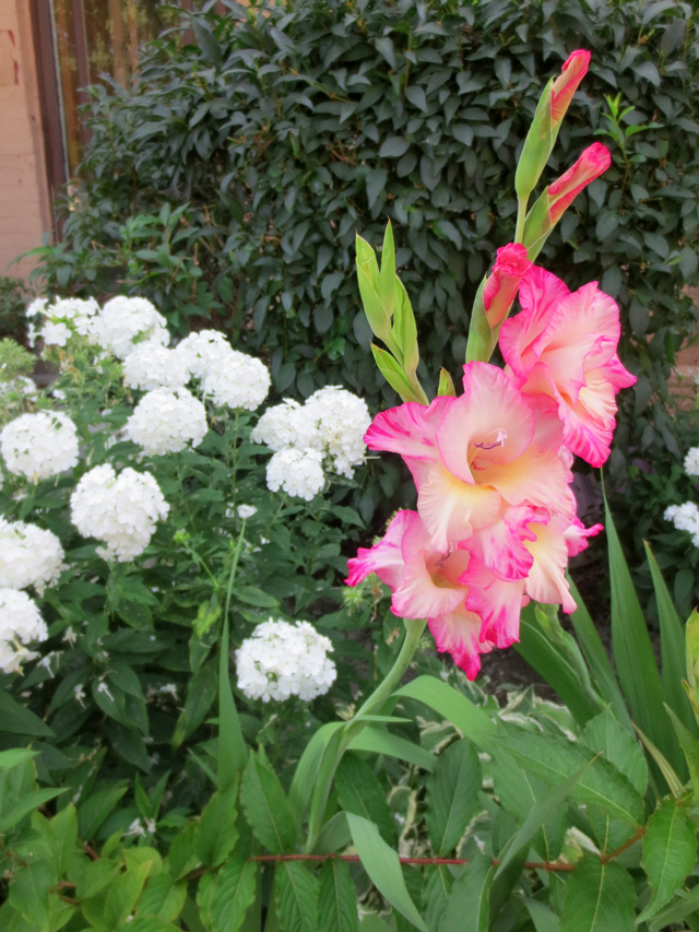 gladiolus-growing-in-a-garden