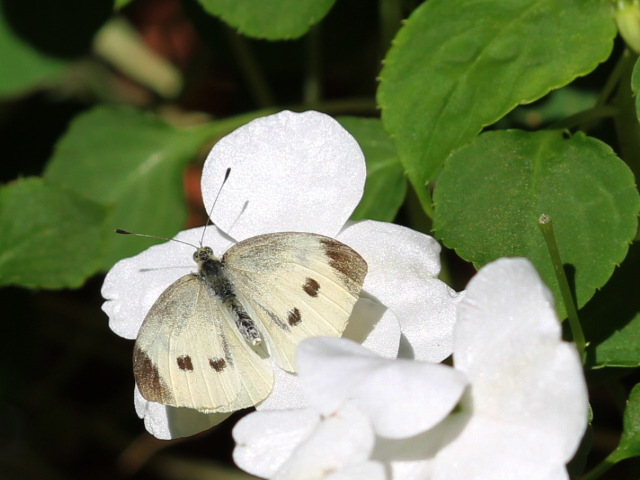 cabbage-butterfly-toronto