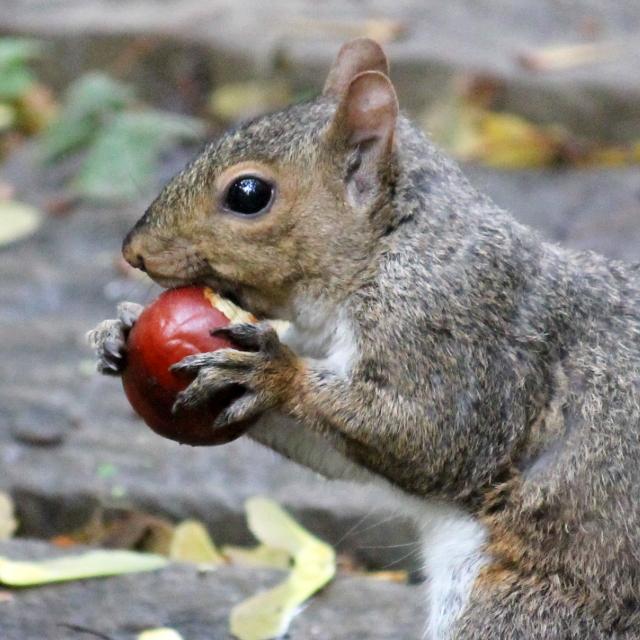 squirrel-eating-a-chestnut-toronto-autumn