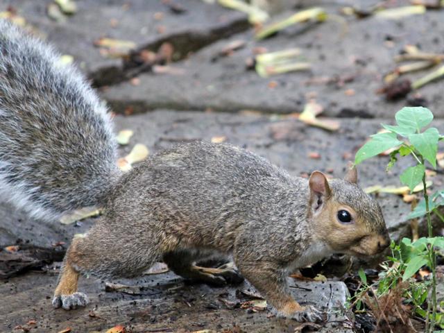 squirrel-in-toronto