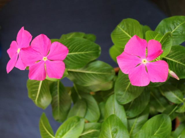 annual-vinca-plant-pink-flowers