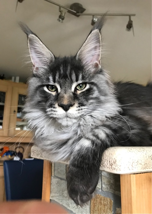 Elevage de chats maine coon, Lounycat, suisse - chat maine ...