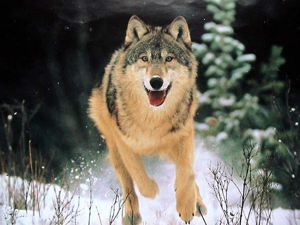 rien-arrete-loup