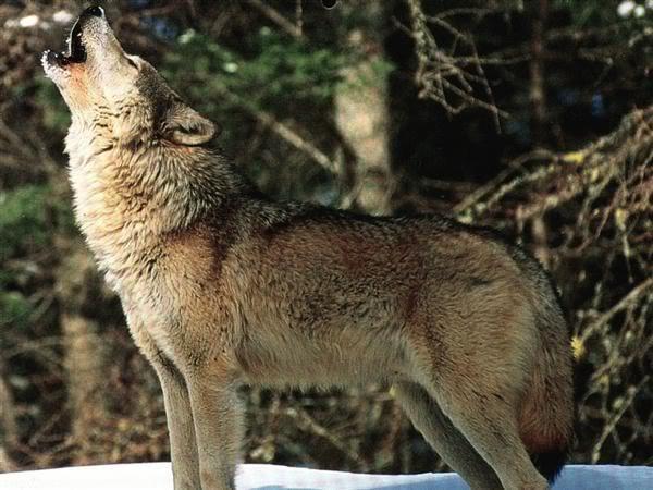 Loup Hurlant Site Officiel De L Association Le Klan Du Loup