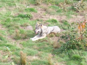 loup-solitaire-chabrieres
