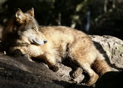 sommeil-loup