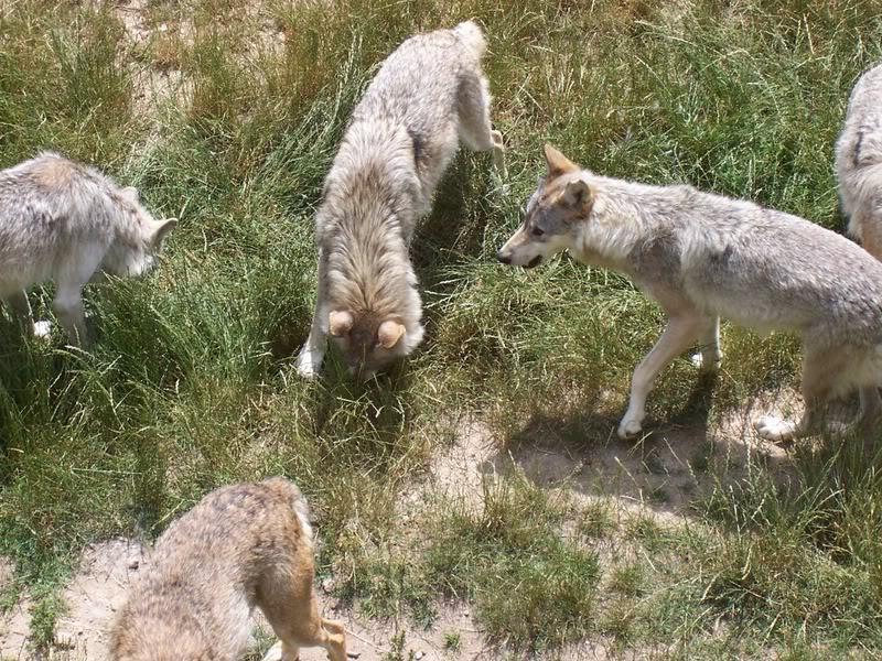 loups-gevaudan-3-2
