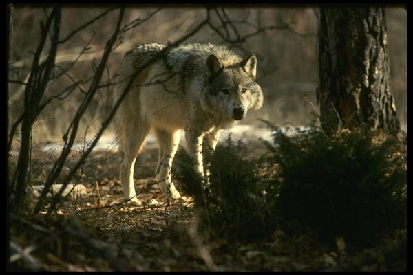 loup-foret