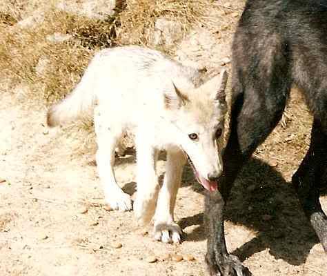 loups-gevaudan-5-2
