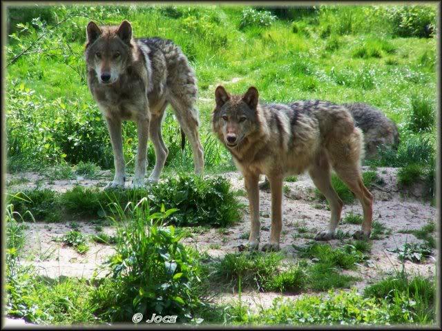 loups-joce-7