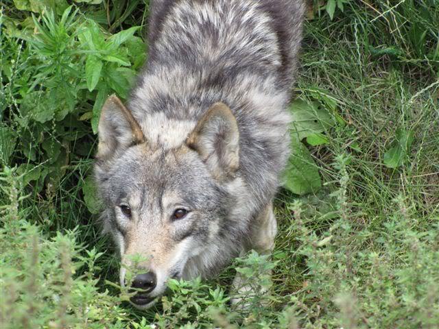 loups-chateau-nantes-2