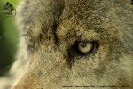 loup-chabrieres
