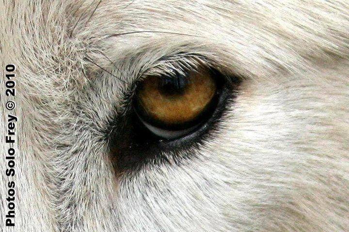 yeux-loup