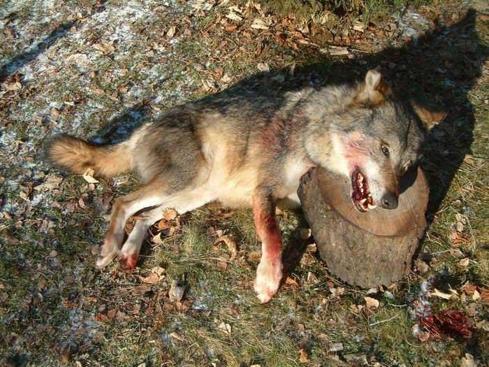 chasseurs-executent-louve