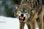 gueule-loup
