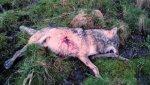 extermination-loup