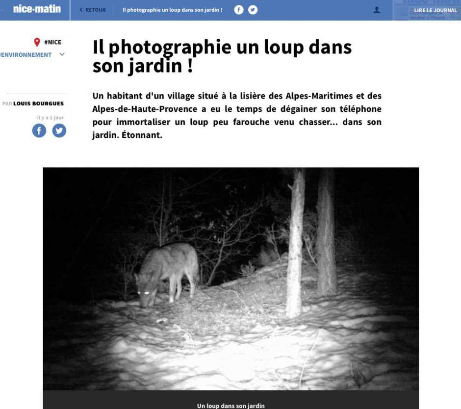 nice-matin-20-minutes-bidonnent-article-sur-loup