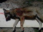 louve-louveteau-loup-mort