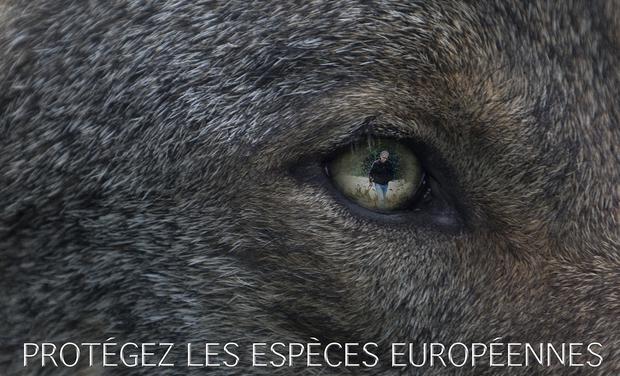 klan-loup-projet-camille-especes-europeennes