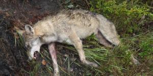 loup-mort-alpes