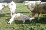 chasseur-sanglier-vache