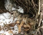 loup-mort-parc-ecrins-2018