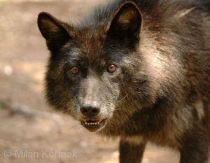 Canis-lupus-pambasileus