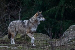 loup-gris-canis-lupus-lupus