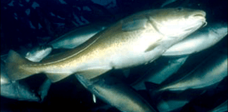 Foto: Havforskningsinstituttet