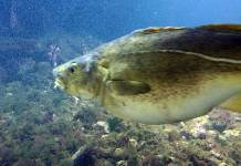 torsk skrei fisk lofotakvariet
