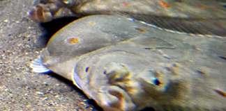 fisk fiske flyndre lofotakvariet