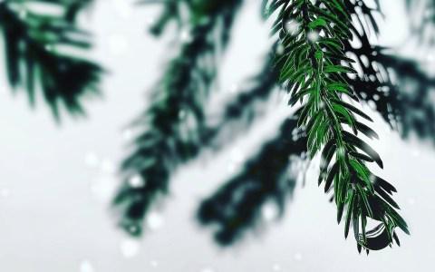 Echte Kerstbomen zitten vol ongedierte