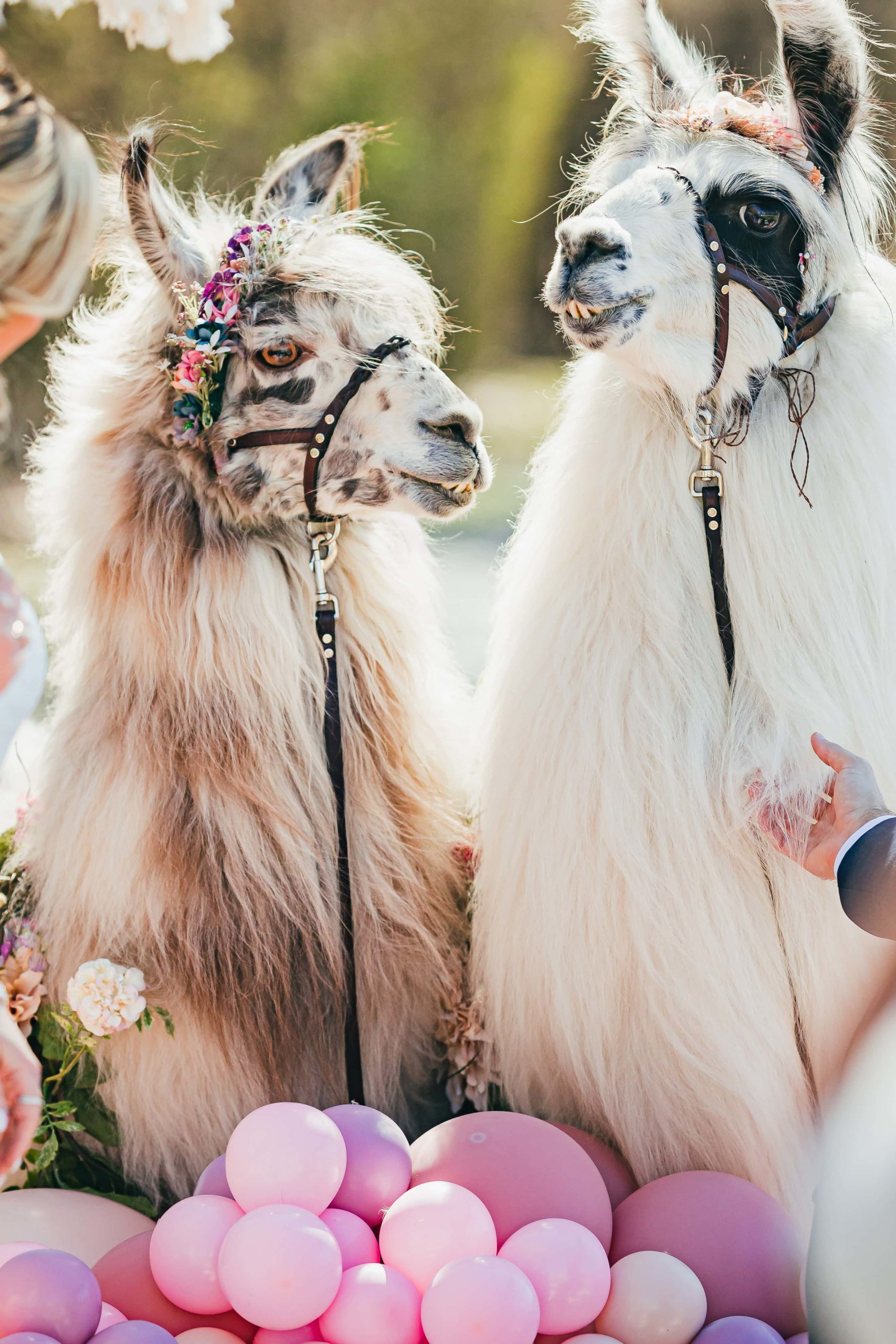 llama-bridgerton-proposal-love-and-story-roswell-9957