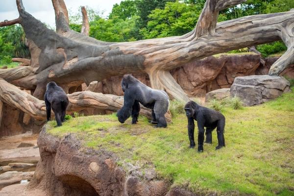 Houston Zoo Gorillas