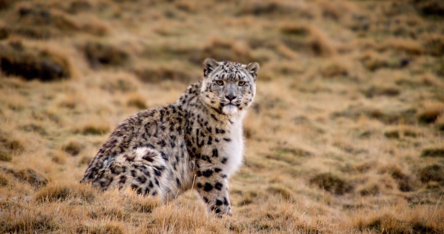 Character: Dawa - Snow Leopard