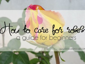 How to care for roses - a guide for beginners
