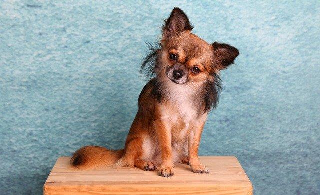 Carattere e Caratteristiche del Chihuahua a Pelo Lungo - LoveChihuahua.it