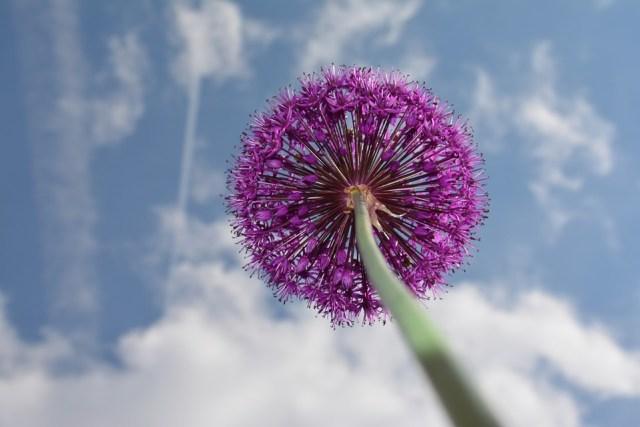 ornamental-onion-2129991_960_720