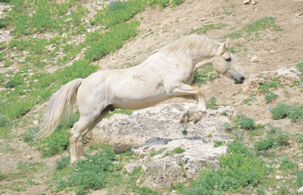 Photographer Kassi Renner captures a great image during a rare sighting of the famous stallion Cloud as he takes a flying leap across some rocks on the Pryor Mountain Wild Horse Range. Courtesy photo